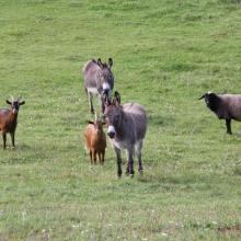 Esel, Ziegen, Schafe