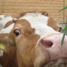 unsere süßen Kühe